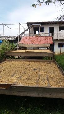 Coffee drying in the sun